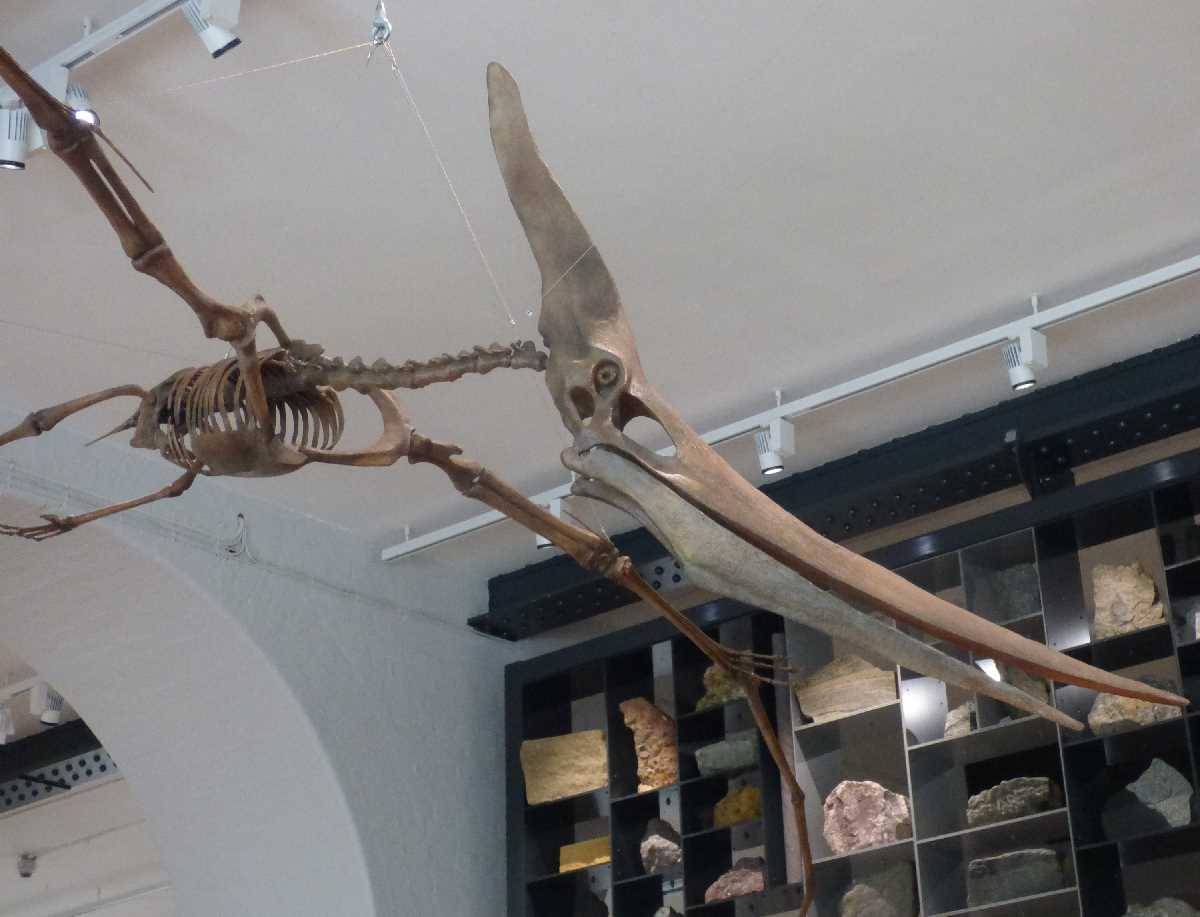 Pteranodon Lapworth Museum of Geology
