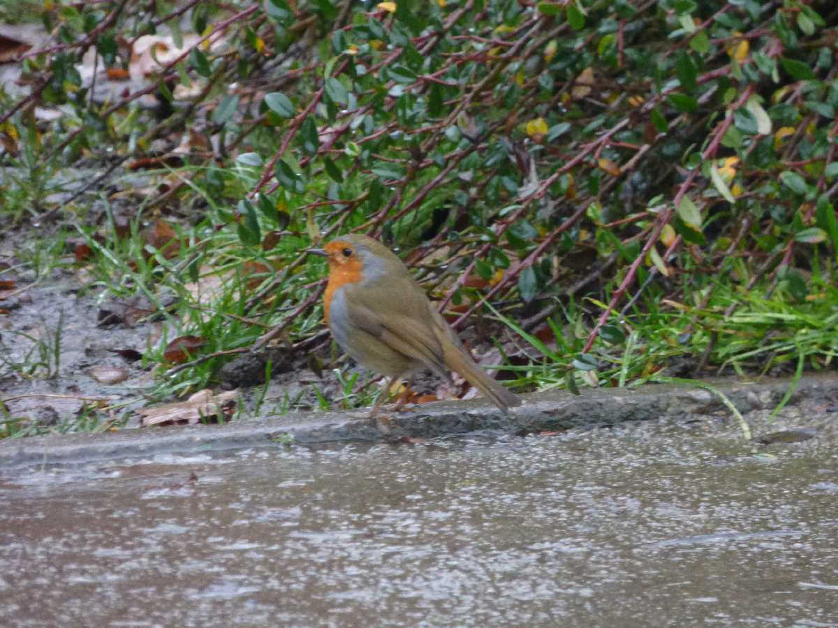 Robin in Kings Heath Park